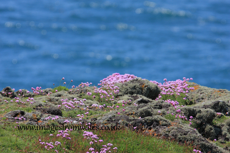 Sea Pinks on the cliff top