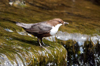 Close up view of Dipper with Insects