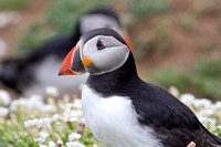 Atlantic Puffins from Skomer Island