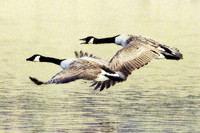 Low Flying Canada Geese