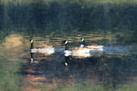 Three Canada Geese