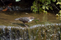 Dipper with Empty Beak